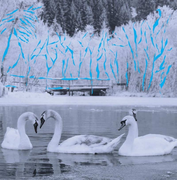 Winter Swans Christmas Cards